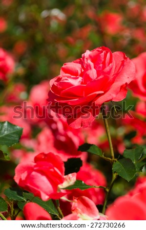 Bright red rose bush closeup view