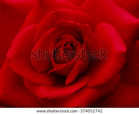Bright Red Rose for Valentine's Day - stock photo