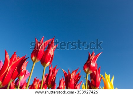 Bright red tulip flowers with spiky red petal tips in the morning sunshine against a clear blue sky background. - stock photo