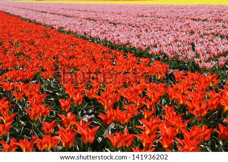 Bright red tulips and other flowering bulbs in a flower bed - stock photo