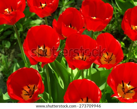 bright red tulips illuminated by the sun