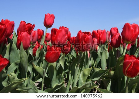 Bright red tulips in a tulip field against a deep blue sky with one tulip higher at the Keukenhof in The Netherlands