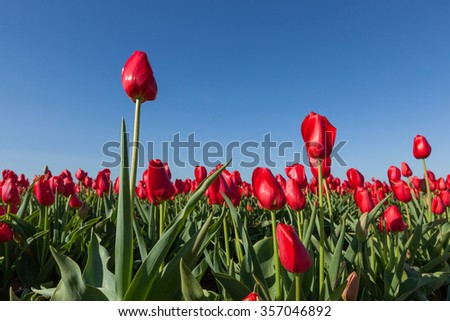 Bright red tulips in rows at a family farm in Oregon with a clear blue sky background.