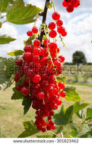 Bright Redcurrants on the Bush - stock photo
