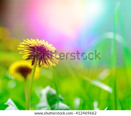 Bright spring natural background with yellow dandelions on the green field - stock photo