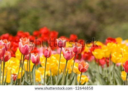 bright spring tulips