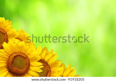 Bright studio shot of beautiful sunflowers with fresh green nature background and  copyspace - stock photo