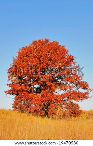 Bright Sugar Maple during peak Season [Autumn Foliage] - stock photo