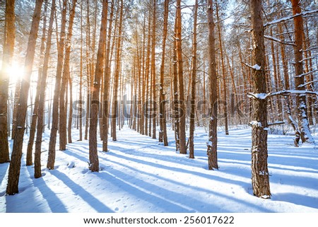 Bright sun in the winter forest with trees covered with hoarfrost. - stock photo
