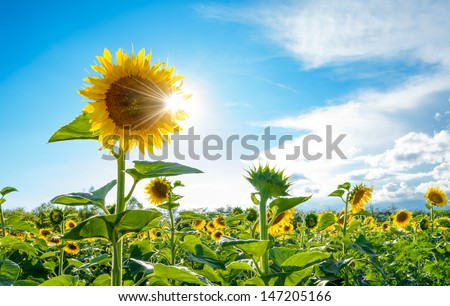 Bright Sun Shines Through the Petals of Beautiful Sunflower Against a Blue Sky in the Field - stock photo