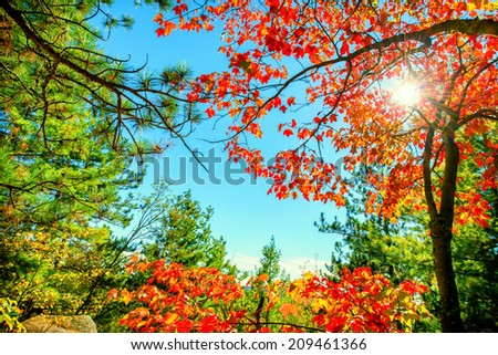 Bright sun shining through vibrant red autumn leaves in a forest.  - stock photo