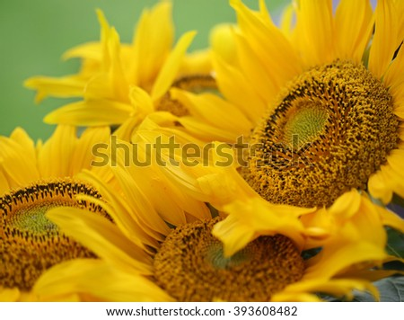 bright sunflower on natural background. - stock photo