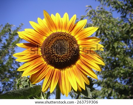 Bright sunflower with bee - stock photo