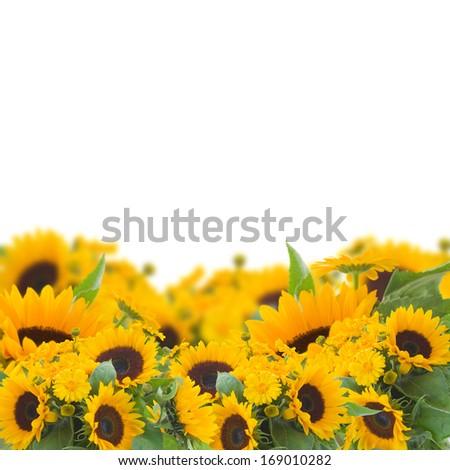 bright  sunflowers and calendula flowers border  isolated on white background - stock photo