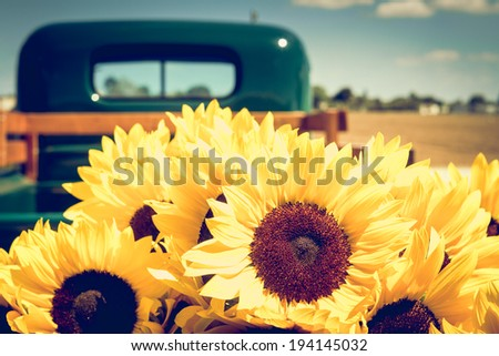 Bright sunflowers in the trunk of a pickup truck - stock photo
