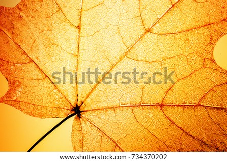 bright Sunny background of openwork translucent orange skeleton leaf maple