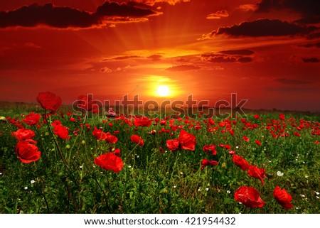 Bright sunrise in the poppy field - stock photo