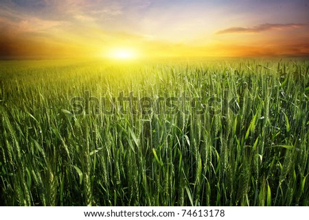 Bright sunset over wheat field. - stock photo