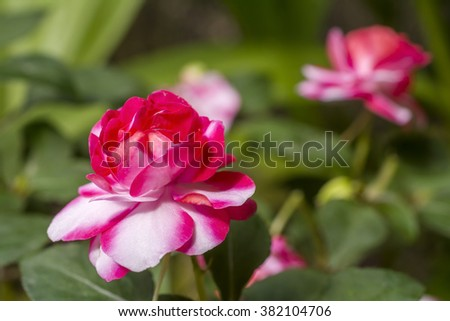 Bright two tone color double impatiens walleriana flowers in green field - stock photo