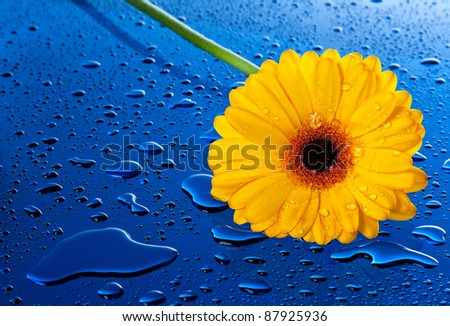 Bright, wet and yellow flower on wet blue surface - stock photo