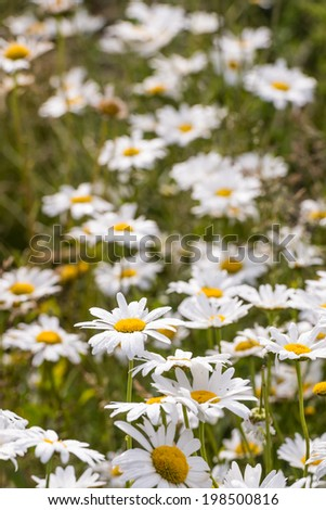 Bright white and yellow blooming oxeye daisies covered with early morning dew droplets.