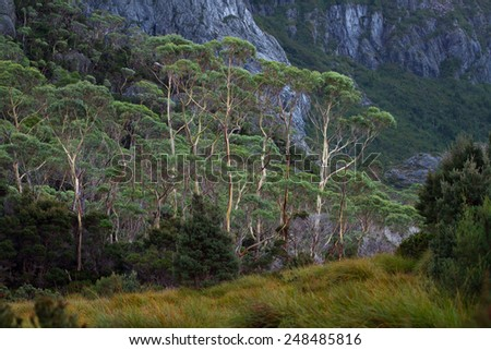 Bright White Bark of the Eucalypt Trees Stand Out in Stark Contrast in the Cradle Mtn - Lake St. Clair National Park, Tasmania, Australia - stock photo