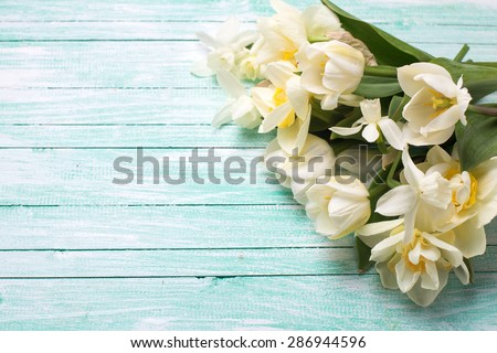 Bright white daffodils and tulips  flowers on turquoise  painted wooden planks. Selective focus. Place for text.  - stock photo
