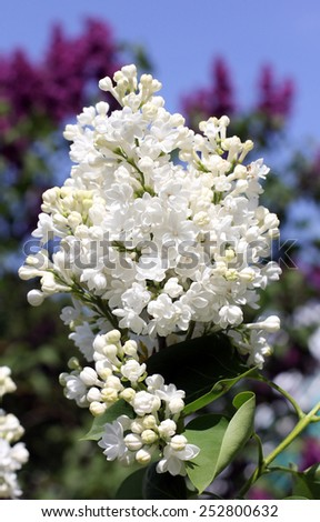 bright white lilac bush in a lavender garden/lilac garden - stock photo