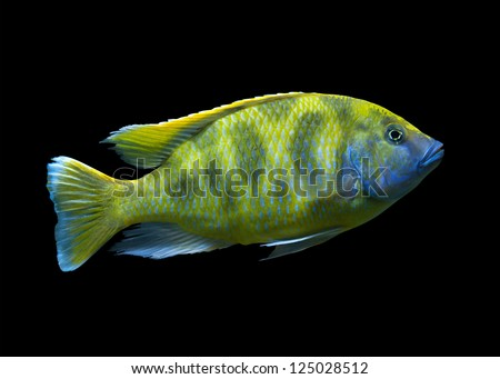 Bright yellow African fish  Venustus Hap (Giraffe Hap) from Malawi lake isolated on black - stock photo