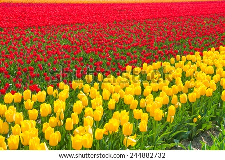 Bright yellow and red tulip rows during sunny day - stock photo
