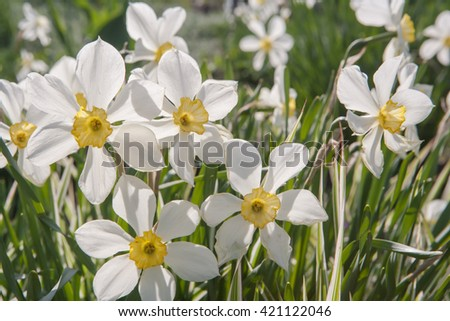Bright yellow and white daffodils (Narcissus) and green grass in a field - stock photo