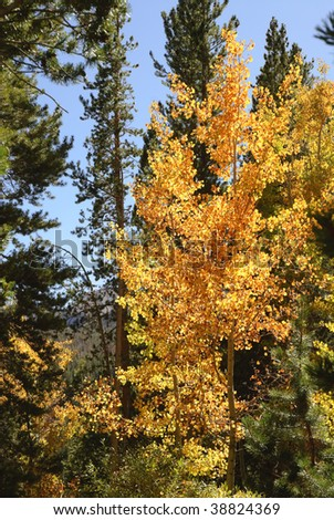 Bright yellow, backlit aspen tree (populus) surrounded by pine trees - stock photo