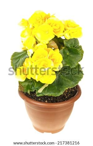 Bright yellow begonia isolated on white background - stock photo