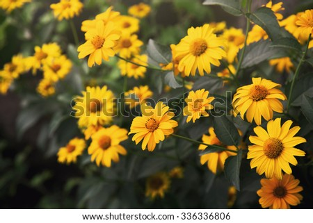 bright yellow coreopsis flowers in a garden  - stock photo