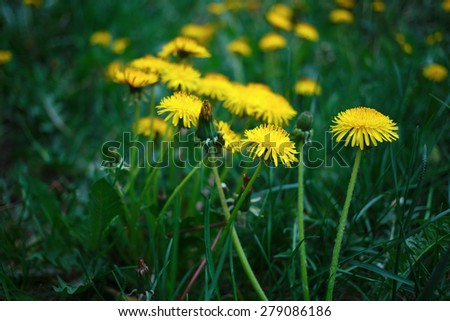 Bright yellow dandelions among green grass. Spring photo. Shallow depth of field. Selective focus. - stock photo