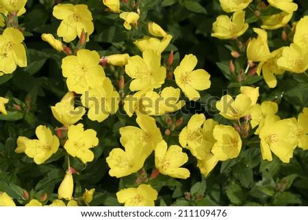 bright yellow flowers against dark green background - stock photo