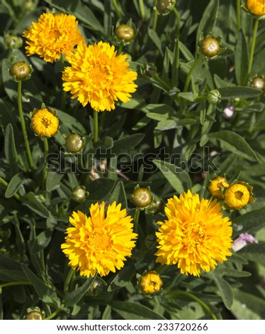 Bright yellow flowers of Coreopsis  a genus of flowering plants in the family Asteraceae.  also called calliopsis and tickseed, add brilliance to the summer garden land scape. - stock photo