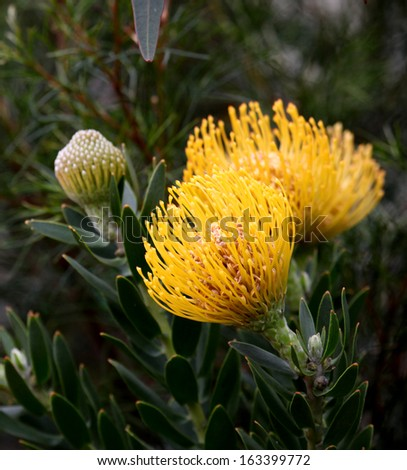 bright yellow protea flowers on plant with leaves in background - stock photo