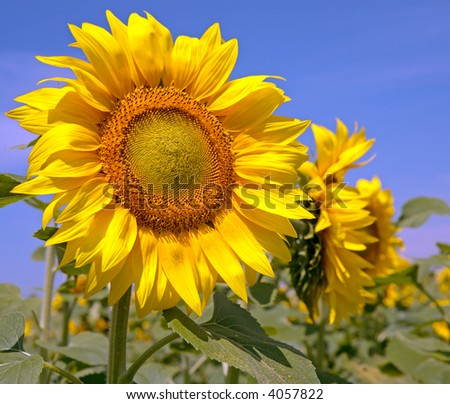 bright yellow sunflower against blue sky