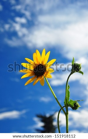Bright yellow sunflower against cloudy blue sky - stock photo