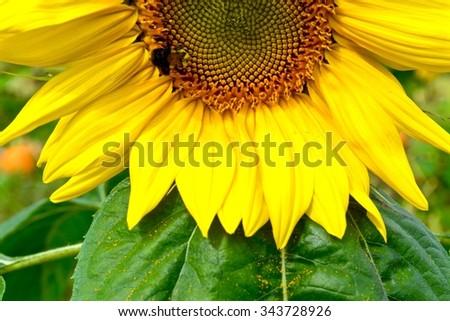 Bright Yellow Sunflower Bloom  / Bright Yellow Sunflower Bloom / Bright Yellow Sunflower Bloom - stock photo