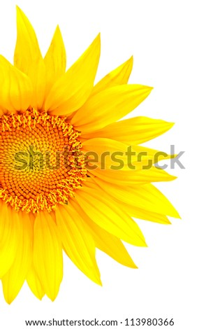Bright yellow sunflower isolated on the white background - stock photo
