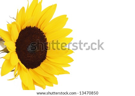 Bright yellow sunflower isolated on white background with copy space - stock photo