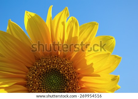 Bright yellow sunflower on a colorful background of blue sky closeup. Fragment of a flower. Shallow depth of field. - stock photo