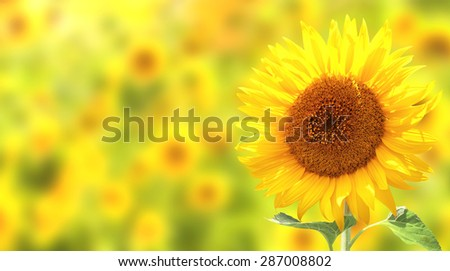 Bright yellow sunflowers on yellow background - stock photo
