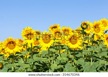Bright yellow sunflowers, or Helianthus, growing in an agricultural field. Close up view against a sunny blue sky. Cultivated for their seeds and oil and as winter feed for dairy cattle - stock photo