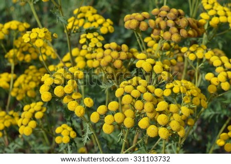 Bright yellow tansies blooming close up - stock photo