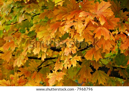 Brightly colored autumn maple leaves on tree. - stock photo