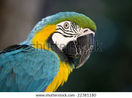 Brightly Colored Blue and Gold Macaw in front of blurred background - stock photo