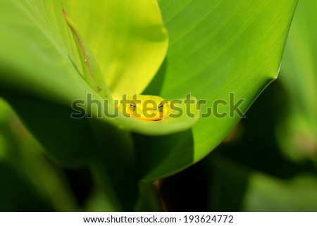 Brightly colored green tree frog with large eyes looking right at the camera while resting on a vivid bed of green leaves. - stock photo